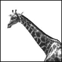 giraffe_k