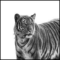 tiger_k